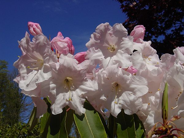 Photo - Lanhydrock - Rhododendrons