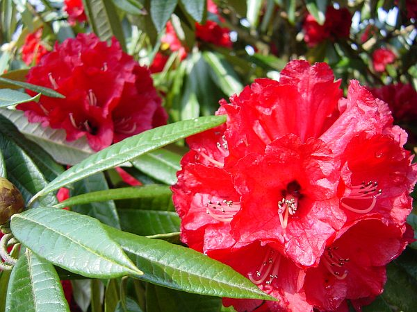 Photo - Rhododendron - Wakehurst