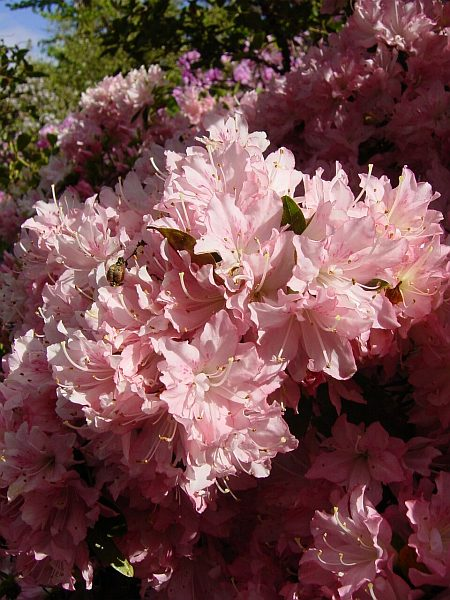 Photo - Rhododendron - Wakehurst - Spring 2003