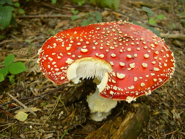 Photo - Fly agaric