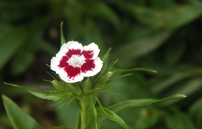 Photo - Dianthus