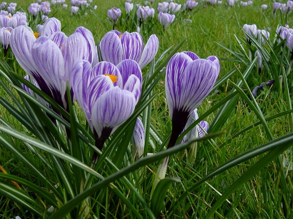 Photo - Crocus