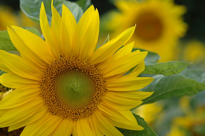 Photo - Les tournesols