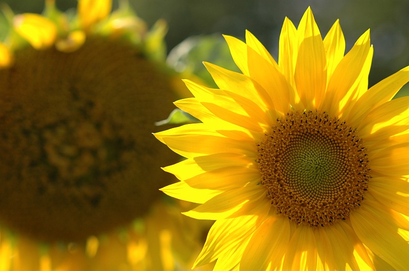 Photo - Sunflowers
