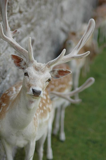 Photo - Deers Park - Knole