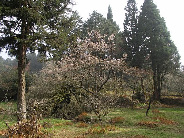 Photo - Blooming trees in Alishan