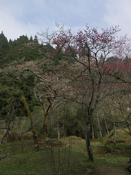 Photo - Blooming trees in Alishan Recreation Park