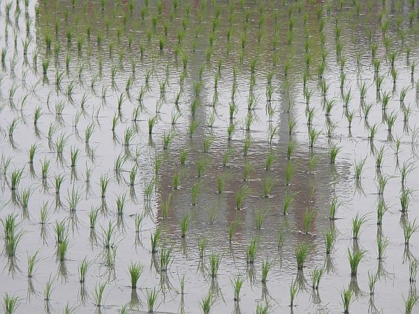 Photo - Wavelets on flooded rice field
